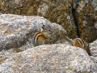 Cute squirrels on a rock in Custer State Park, South Dakota, USA