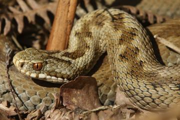 A stunning Female Adder (Vipera berus) Snake just out of Hibernation.