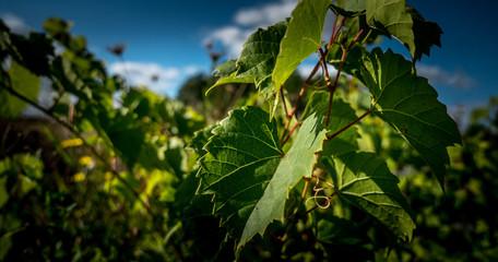 Plan américain sur feuilles de vignes sur pied