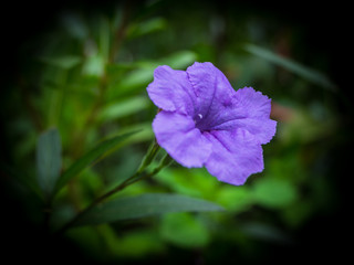 purple flower in the garden, Waterkanon,Lowkey