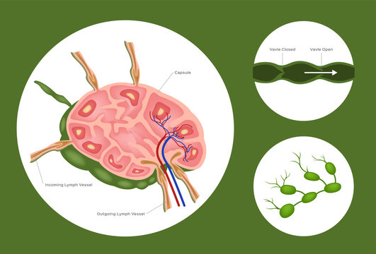 Structure of lymph nodes system vector