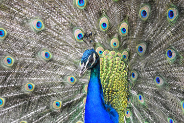 A peacock displaying its feathers