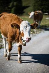 Kuh in den Bergen