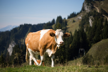 Kuh in den den Alpen