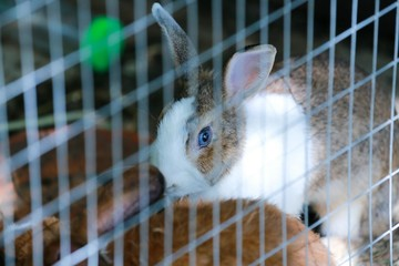 Rabbit in thailand