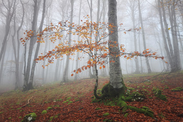 Misty beech forest at Urbasa (Navarra)