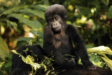 Baby Gorilla (Gorilla beringei beringei) Riding Mothers Back. Bwindi Impenetrable National Park, Uganda