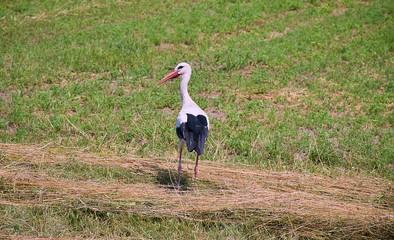 White Stork on Field