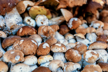 background from collected mushrooms boletus in pile