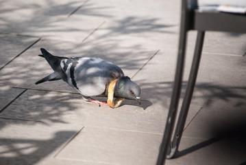 Pigeon au collier