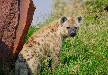 Photo sur Plexiglas Hyène A striped Hyena looking back in a grassland showing a profile view in the green grass in the sunshine.