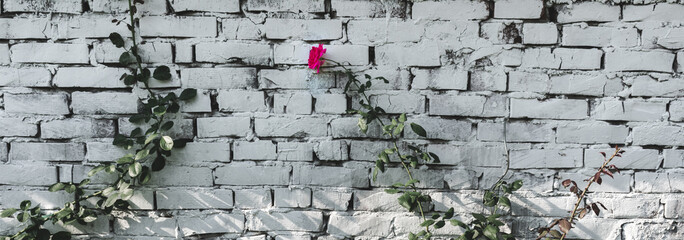 View of roses climbing against an old white painted brick wall with a blooming pink rose flower.