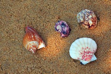 Seashell Beach Sand Sunlights