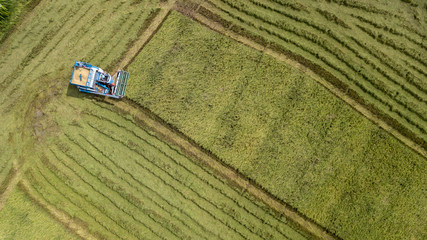 Rice farm on harvesting season by farmer with combine harvesters and tractor on Rice field plantation pattern. photo by drone from bird eye view in countryside Thailand.