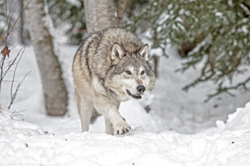 Wall Mural - Wolf Hunting in Winter