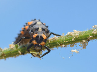 Macro of ladybug larva (Coccinella) on stem eating an aphid on blue sky background