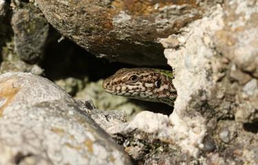 A beautiful Wall Lizard (Podarcis muralis) warming up in the sun on a wall.