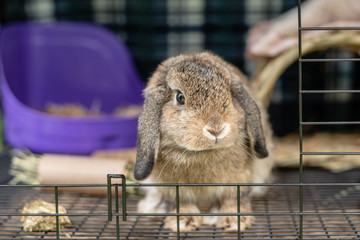 Pet Holland Lop Ear rabbit in a crate.