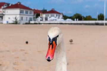 Biały łabędź na plaży, Sopot