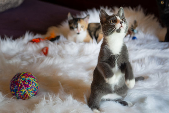 Grey and White Kitten Plays and Stands Up