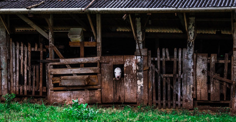 Cow in the Window