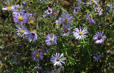 Purple Aster flowers bloom in a field in early fall