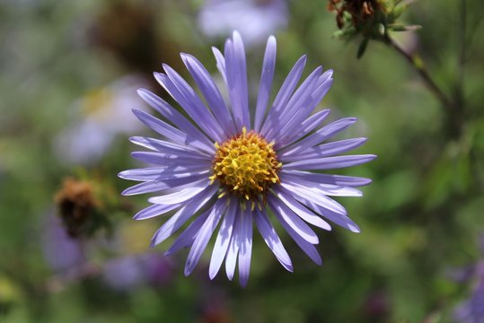 A Purple Aster blooms in a field in early fall