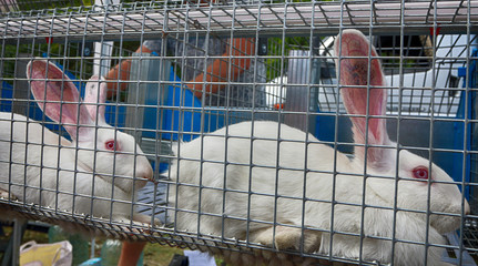 Purebred albino rabbits in a cage at an agricultural show