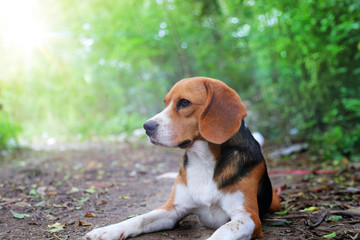 Portrait of beagle dog sitting on the ground outdoor.