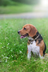 Beagle dog sitting on the wild flower field.