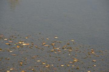 the fallen-down autumn  on water