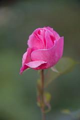 FLOWERS - rose on green