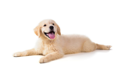 Cute Golden Retriever Puppy isolate on white background.