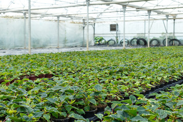 Seedlings of euphorbia pulcherrima and poinsettia pulcherrima  growing in pots