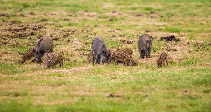 viele Wildschweine fressen auf einer Wiese