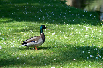 duck on green grass as background