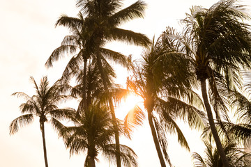 Coconut tree with sunset background.