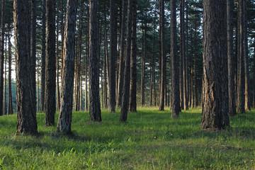 Pine forest park tara mountain serbia