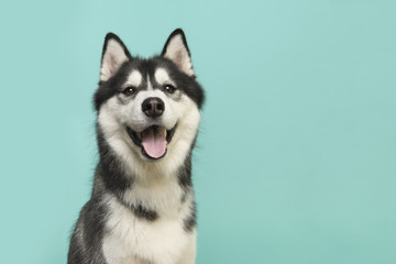 Husky dog portrait looking at the camera with mouth open on a turquoise blue background