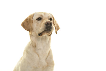 Portrait of a blond labrador retriever dog looking away to the side isolated on a white background