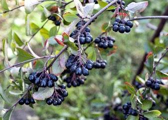 ripe black mountain ash on a Bush