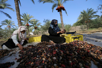 Palestinian women sort freshly harvested dates in Deir al-Balah, in the central Gaza Strip