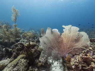 Seascape of coral reef / Caribbean Sea / Curacao with sea fan, various hard and soft corals, sponges