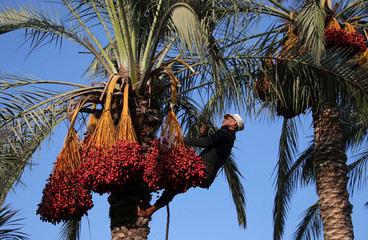 Palestinian man harvests dates from a palm tree in Deir al-Balah, in the central Gaza Strip