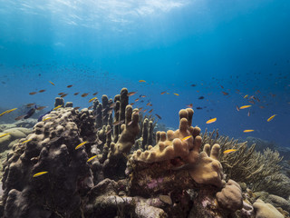 Seascape of coral reef / Caribbean Sea / Curacao with pillar coral, various hard and soft corals, sponges