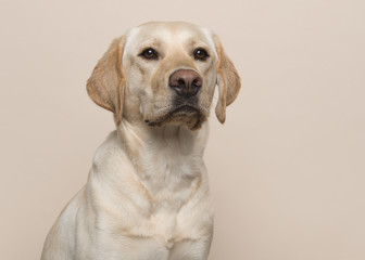 Portrait of a blond labrador retriever dog looking away on a sand colored background