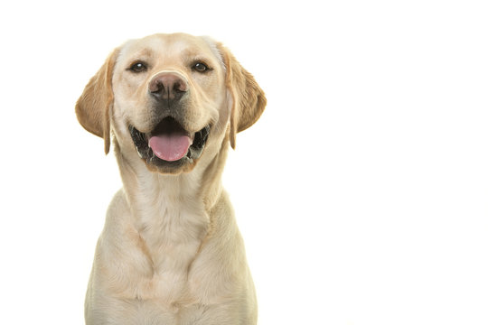Portrait of a blond labrador retriever dog looking at the camera with a big smile isolated on a white background