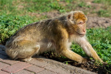Makaken Monkey