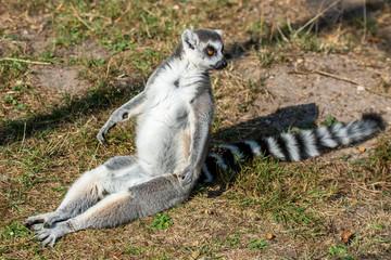 Lemur monkey from madagascar