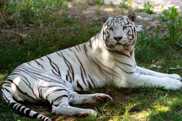 Wild Cat  white Bengal Tiger